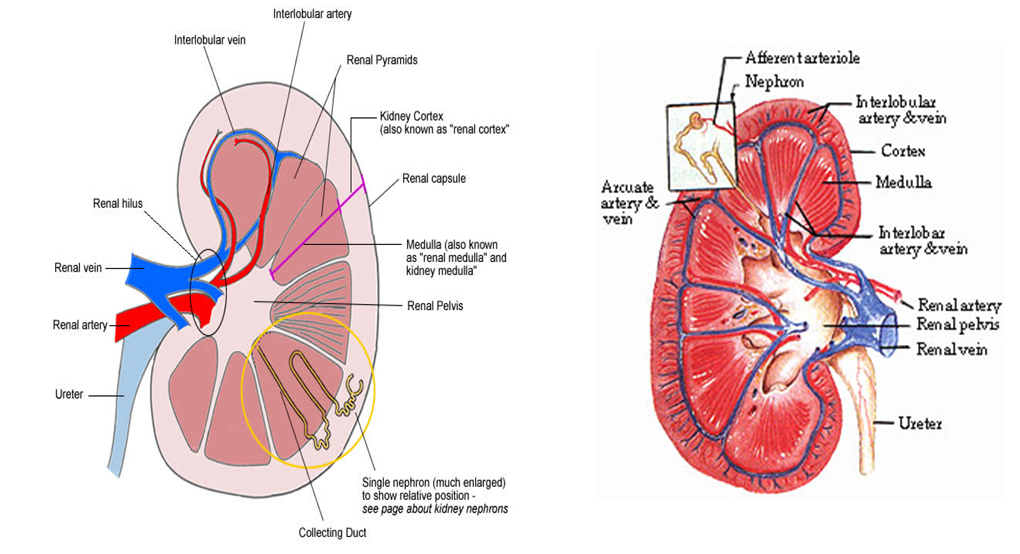 Mbbs Medicine Humanity First Autosomal Dominant Polycystic Kidney