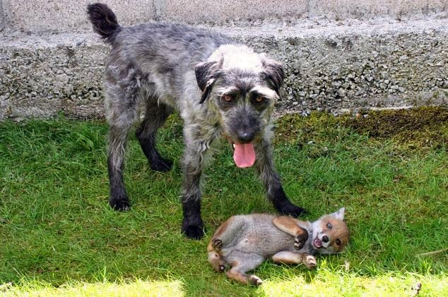 The family pet dog and a rescue cub who have become inseparable pals (VIDEO)