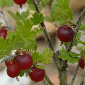 Living Off the Land: 52 Highly Nutritious, Wild-Growing Plants You Can Eat Red+gooseberry