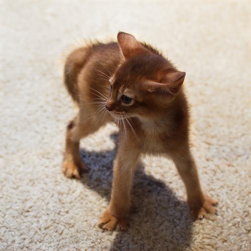 Abyssinian cat nc