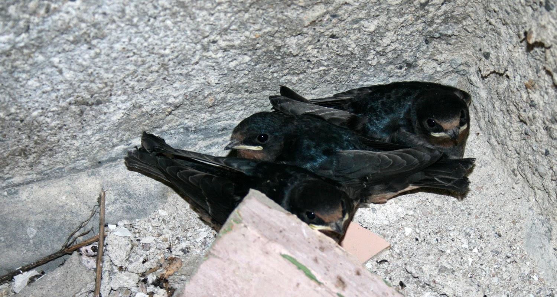 Ground nesting swallows. Hmmmm...