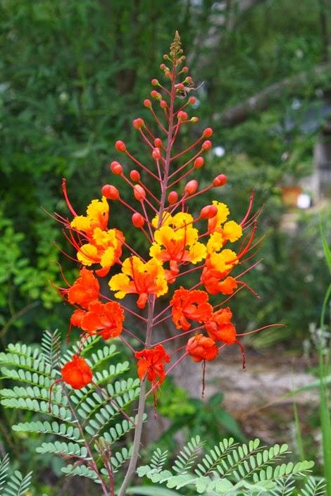 Munawi Inside Bunga Majemuk Tak Berbatas Inflorescentia Racemosa Inflorescentia Botryoides Inflorescentia Centripetala