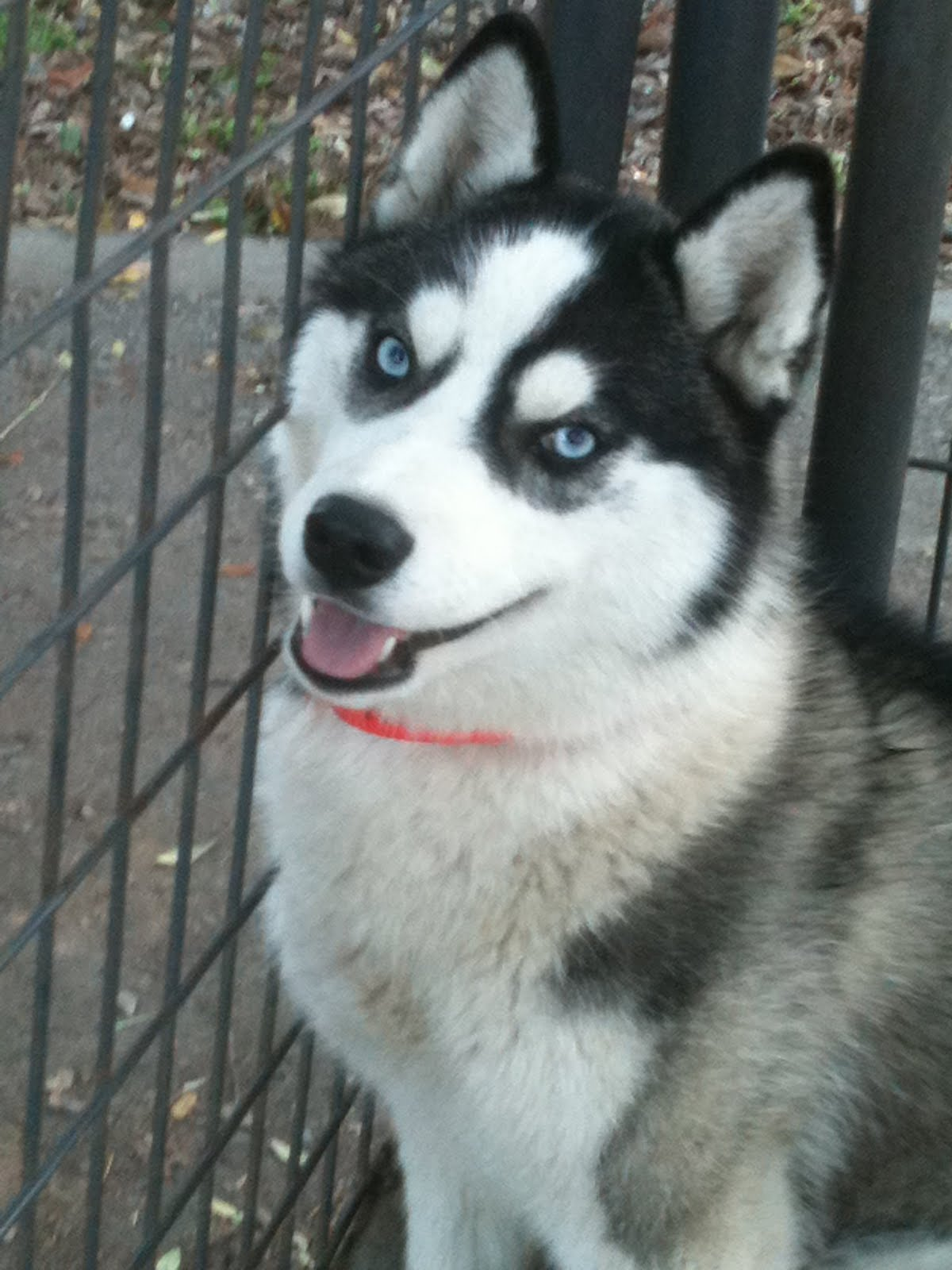 Husky puppies for adoption in california - Two Huskies Missing In Fresno Ca Stormy Gray White Female And Carmen Black White Female Please Contact Both Dogs Are Safe And Sound At Home With Any