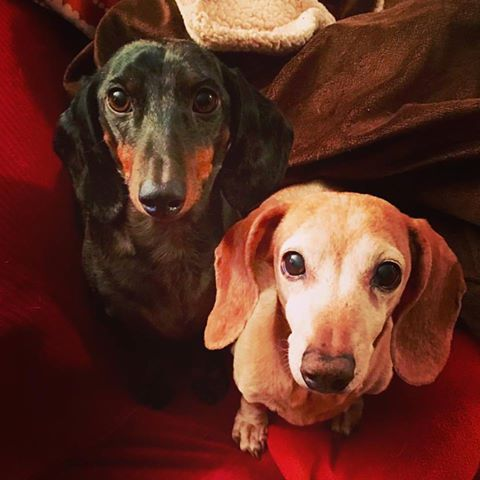 Two NYC Dachshunds at Home While Mom Covers Campaign
