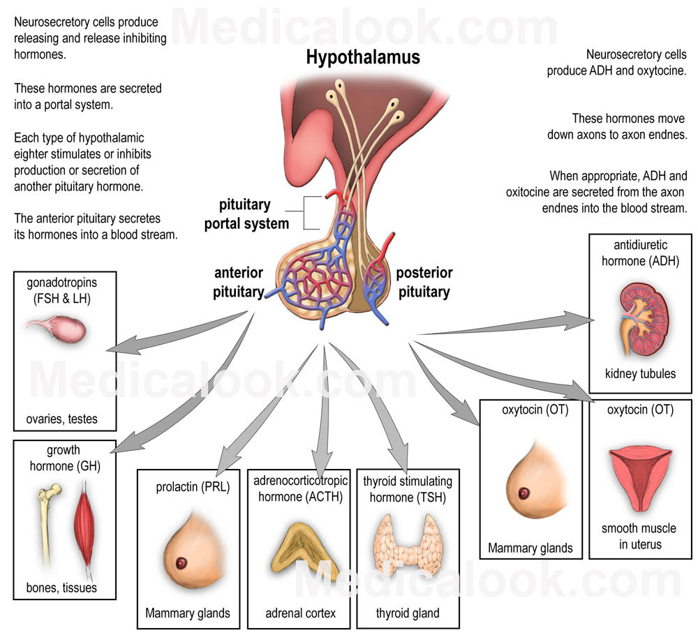 Pituitary Gland and Hormones