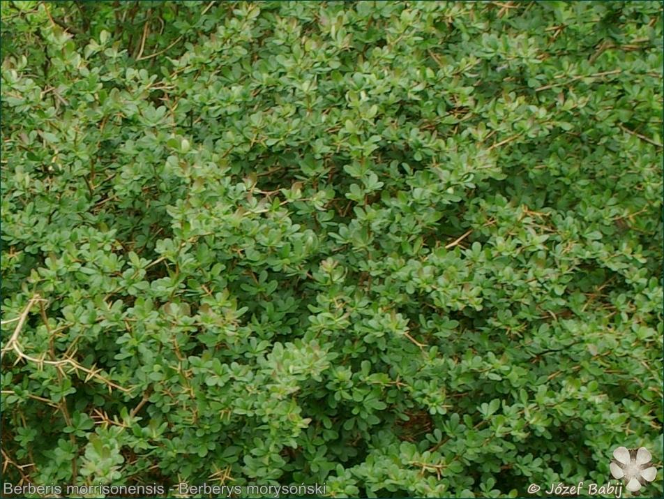 Berberis morrisonensis - Berberys morysoński