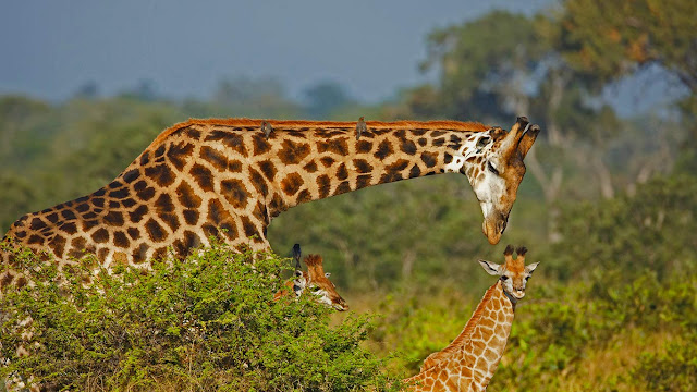 Male giraffe and two calves (© Richard du Toit/age fotostock) 632