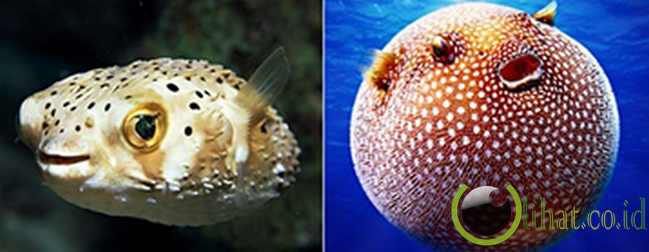 Ikan Buntal: Mahluk tak rata dengan racun mematikan