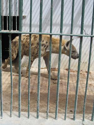 Hiena en el zoo de Dakar, Senegal