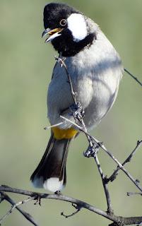 TIPS MERAWAT BURUNG KUTILANG SUTRA JANTAN AGAR CEPAT GACOR  Burung Kutilang , Burung Kutilang Gacor, Burung Kutilang Jantan, Cara Agar Kutilang Gacor, Kutilang , Merawat Burung Kutilang Agar Gacor, Perawatan Burung Kutilang  Burung Kutilang Jantan Gacor Kutilang merupakan jenis burung yang memiliki talent sebagai burung kicauan dengan suara yang khas. Burung petarung ini kerap dipelihara oleh kicau mania karena memang memiliki suara yang bagus dan gampang perawatannya. Namun sobat burung juga harus benar-benar mengetahui, bahwa hanya kutilang jantan sajalah yang bisa menghasilkan suara yang bagus. Jadi apabila sobat burung ingin memelihara burung ini, maka sobat harus benar-benar paham cara memilih kutilang yang berjenis jantan. Jika sobat burung butuh bantuan, silahkan lihat artikel perbedaan burung kutilang  jantan dan betina ini.     Untuk menghasilkan burung kutilang jantan gacor, pastinya membutuhkan perawatan yang benar-benar rutin. Perawatan tersebut meliputi penjemuran, pemandian, pemilihan makanan yang tepat serta memaster burung kutilang jantan dengan jenis burung lainnya, agar mampu meniru dan memberikan banyak variasi suara yang khas.  Berikut adalah tips merawat burung kutilang jantan agar gacor: Perawatan burung kutilang jantan dimulai dari pagi hari yakni dengan mengangin-anginkan burung sekitar 40-60 menit pada pagi hari mulai pukul 06.00 wib. Setelah dilanjutkan dengan memandikan burung kutilang pada pukul 07.00 wib dengan air biasa (suhu kamar mandi) dengan menggunakan semprotan atau melalui cepuk yang sudah disiapkan di dalam sangkar. Setelah tahap pemandian selesai, burung kutilang kemudian dijemur pada tempat yang cukup mendapat sinar matahari pagi yakni antara burung 8.00 wib - 10.00 wib (tergantung kondisi cuaca). Namun jangan langsung memberikan pakan burung, tunggu sekitar 30 menit, hingga bulu burung sedikit agak mengering, dan burung terasa lapar, baru setelah itu diberikan pakan hariannya. Untuk siang harinya, burung kutilang tidak perlu 