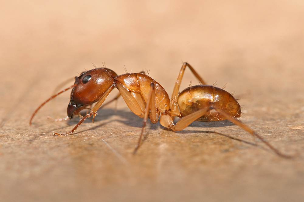 Poisonous Ant Bites http://africansanimals.blogspot.com/2012/08/amazing-dangerous-safari-ants-of-africa.html