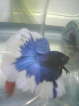 We only Import and Breed the finest betta dna and genetics on the planet!