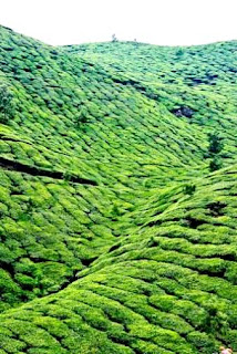 Munnar (Best Honeymoon Destinations In India) 3