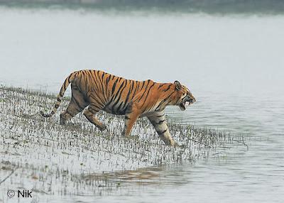 Royal Bengal Tiger in Sundarban, Bangladesh