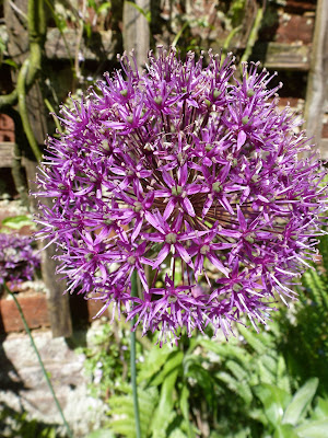 Allium ball