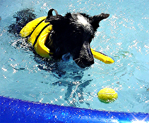 Cachorro na piscina - ensinando o cachorro a nadar