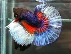 foto ikan cupang