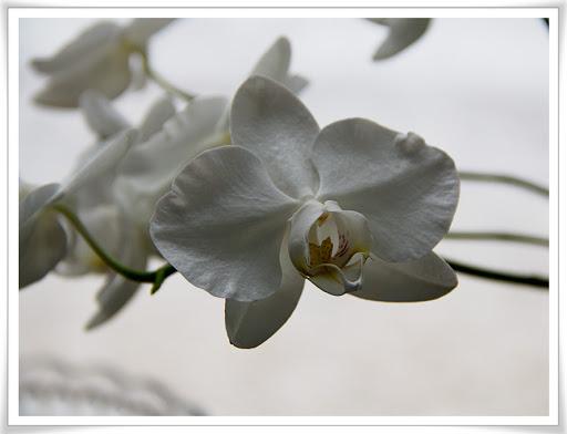 Orkidé med normal blomning