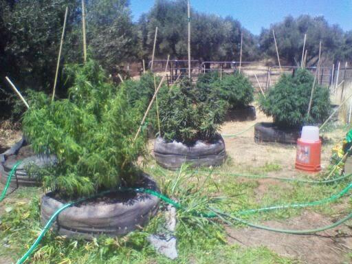 irrigação de maconha