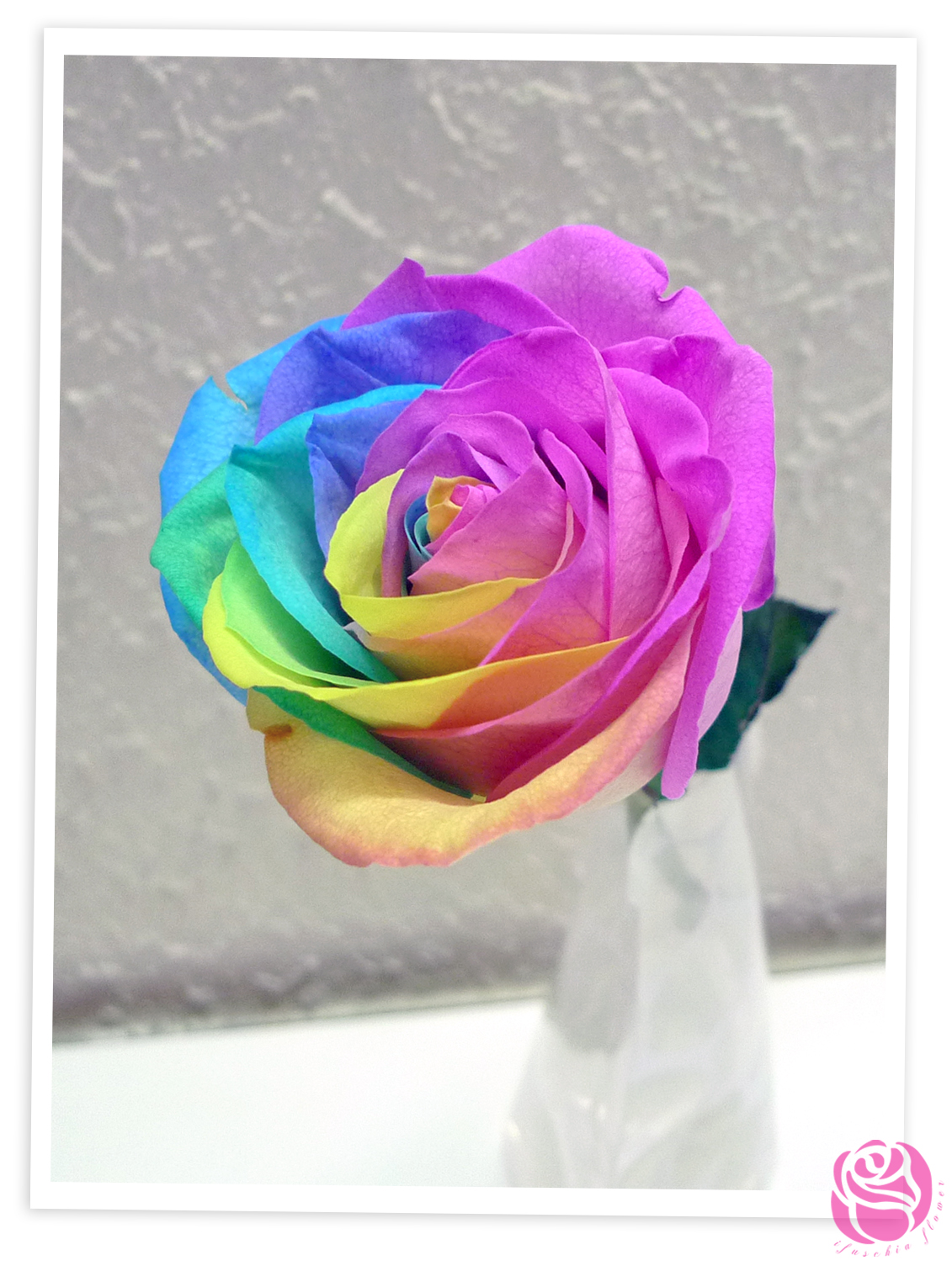 Ifuschia flower mesmeric rose for Natural multi colored roses
