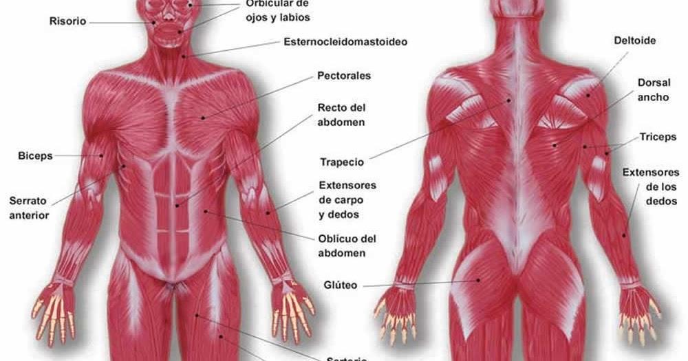 Salud y Hogar: Cuida tus músculos