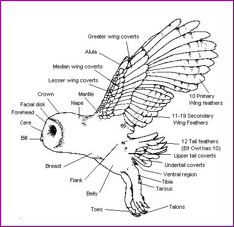 Barn Owl Body Parts Barn Owl Body Diagram