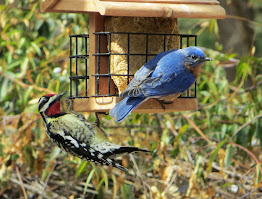Yellow-bellied Sapsucker and Eastern Bluebird