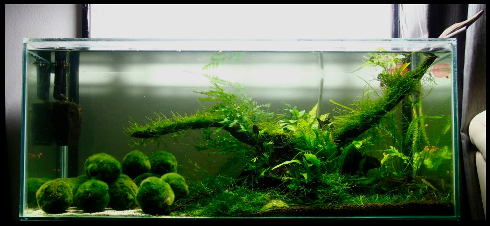 Marimo club sarawak marimo say hello to sarawakian for Low maintenance fish tank