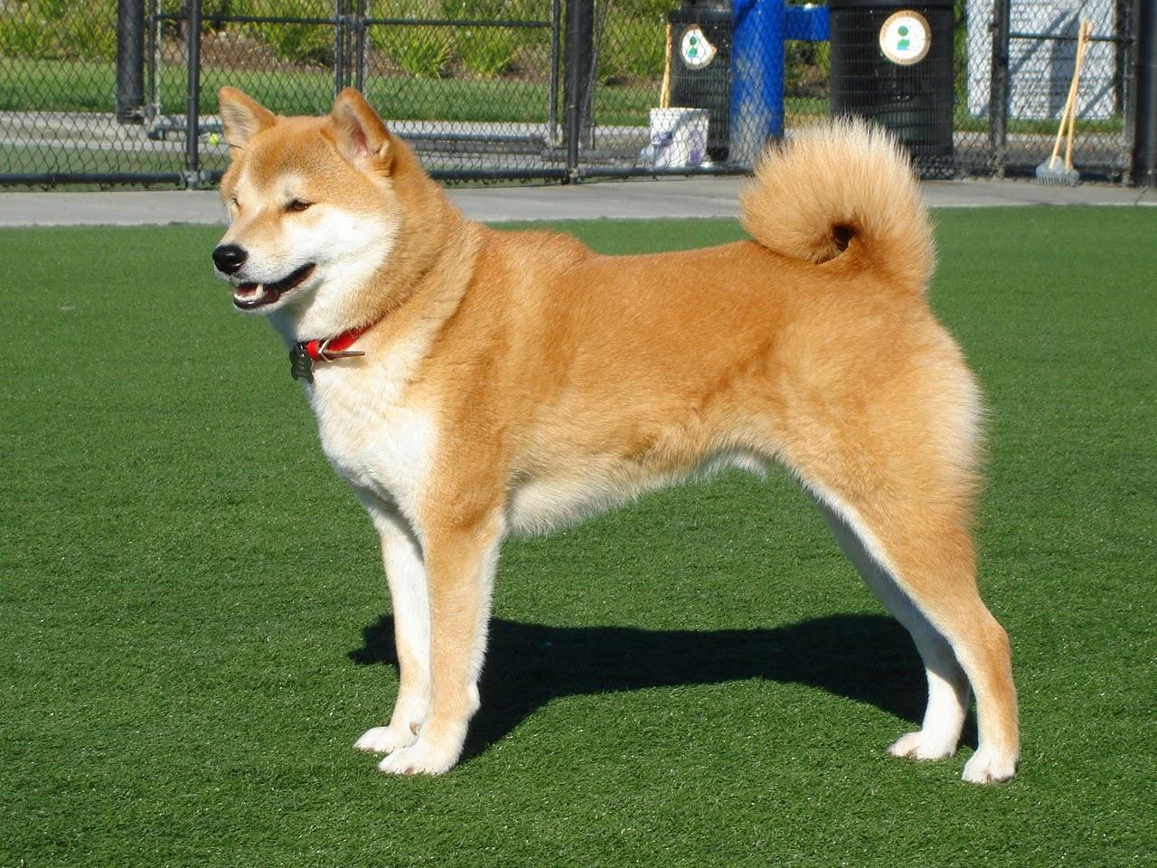 Anjing-akita