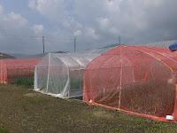 ネギの赤色防虫ネットによる「アザミウマ」の小さな害虫軽減。