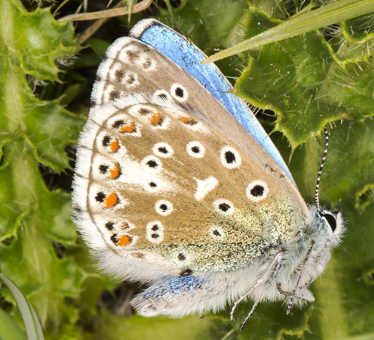 Adonis Blue, Lysandra bellargus.  Queendown Warren with the Orpington Field Club, 24 May 2014.