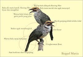 Ciri-Ciri Dan Cara Membedakan Burung Cucakrowo Jantan Dan Burung Cucakrowo Betian Dengan Detail
