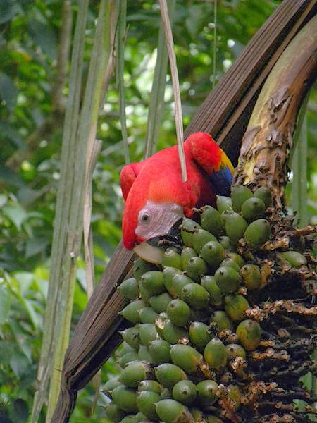 Scarlet Macaw feed