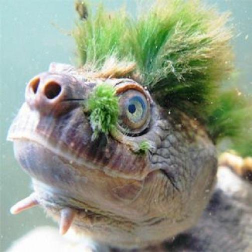 Mary river turtle algae - photo#13