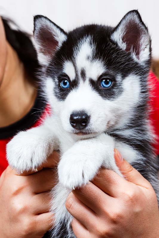 Owner holds up her siberian husky puppy to the camera