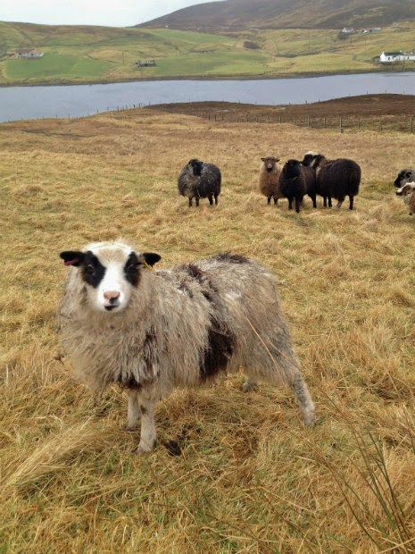 Shetland Wool Week Sept 26 - Oct 4 2015!