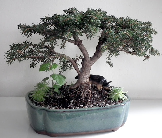 Bird's Nest spruce aka Picea abies 'Nidiformis' bonsai
