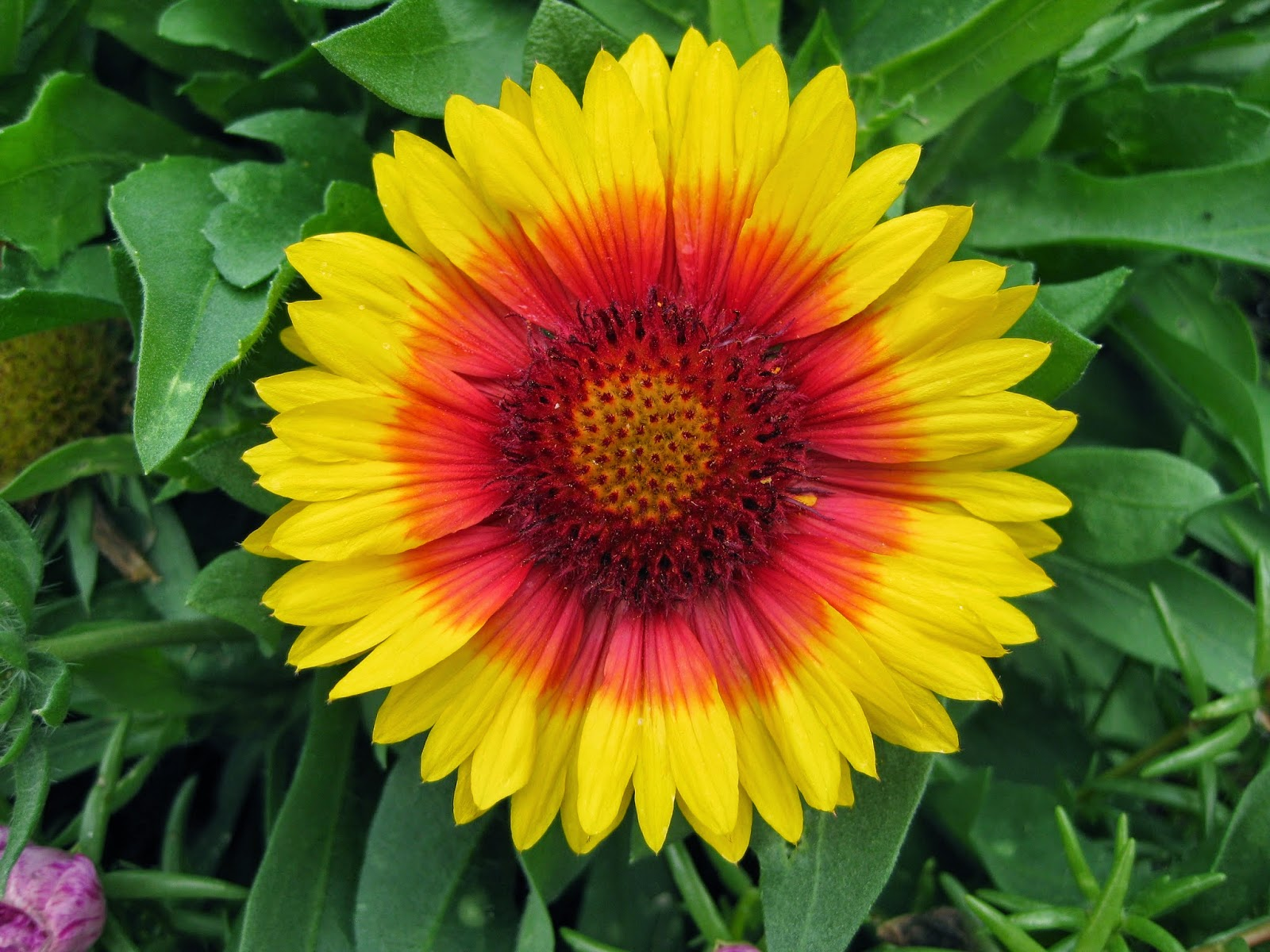Blanket Flowers Add Punch | Mark's Garden ...