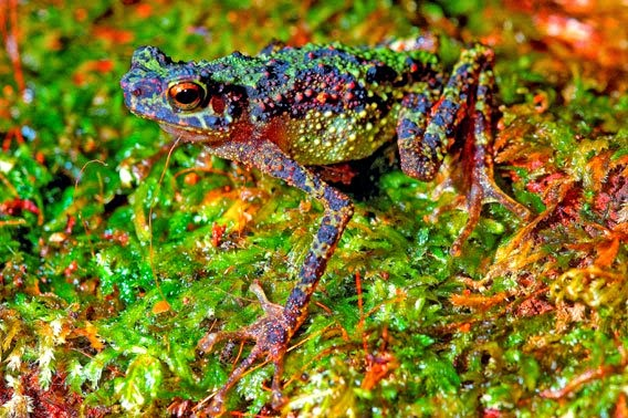 Image showing the bornean rainbow toad (Ansonia latidisca)