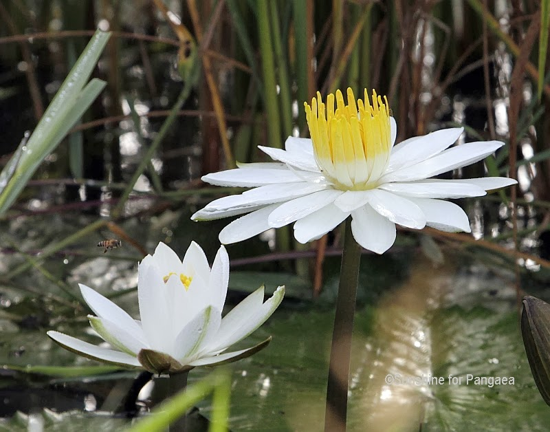 White water lilies in Gambia