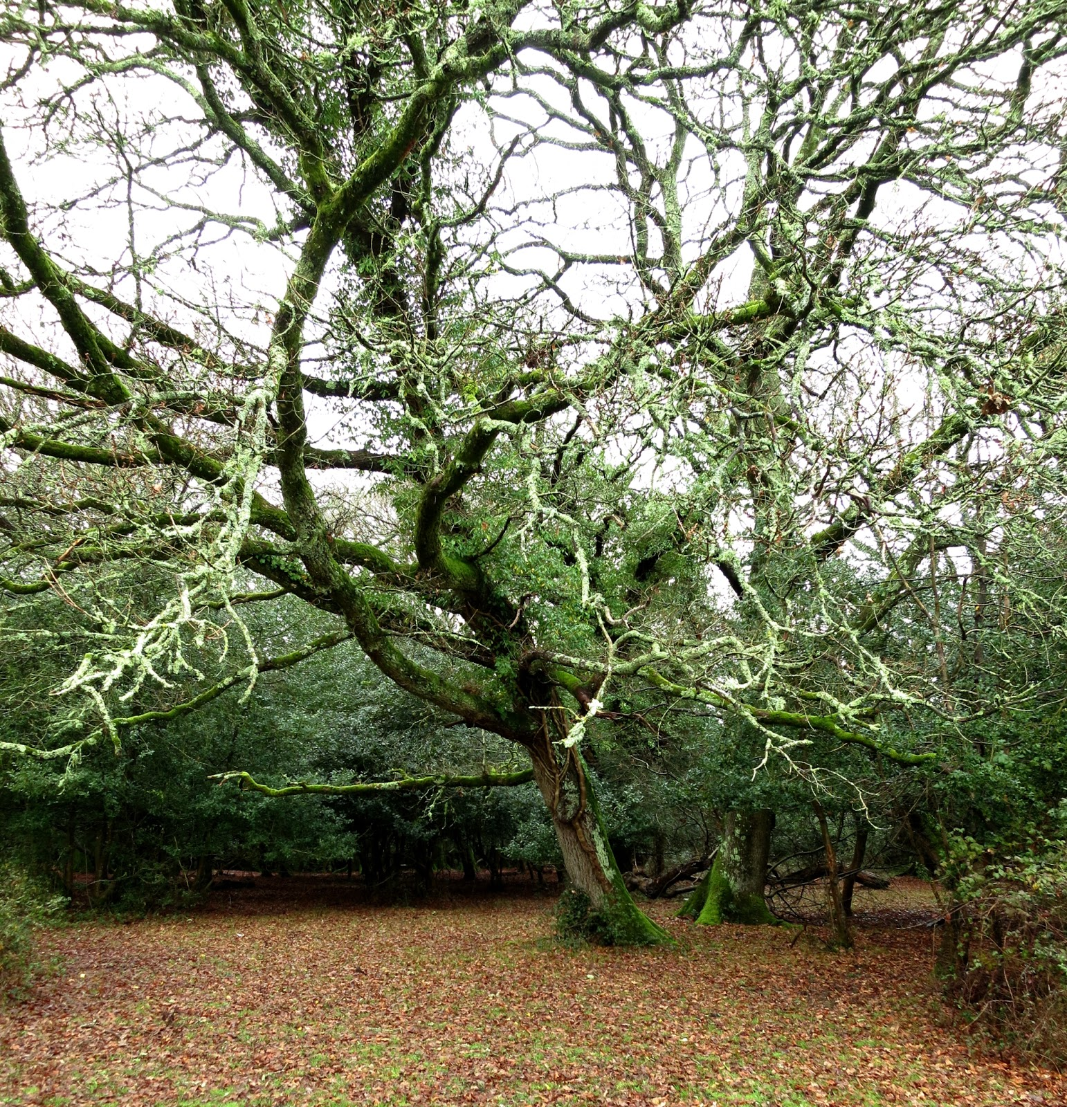 Leafless tree in the New Forest covered in moss and lichen.