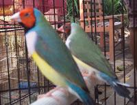 burung trendy gletaik