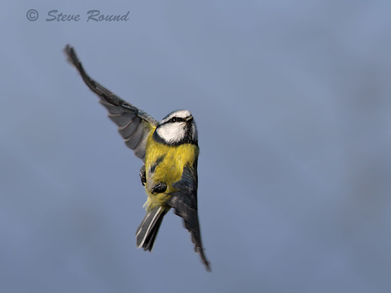 blue tit, bird, nature, wildlife, in flight, flying