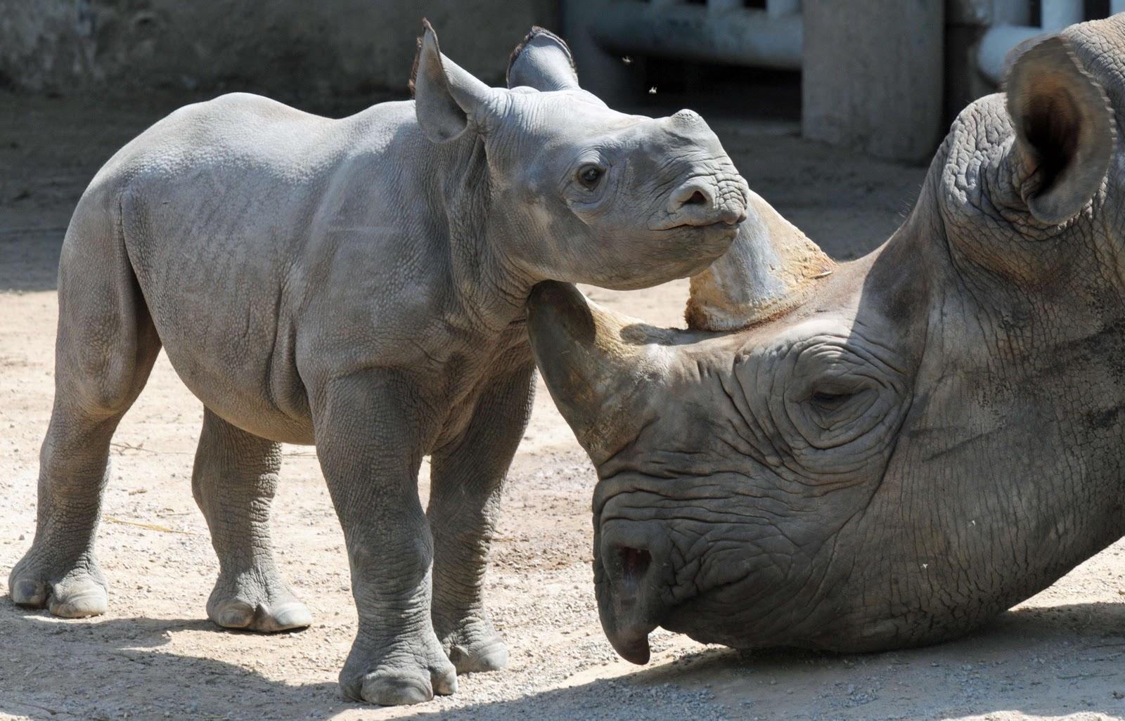 baby rhino new stylish wallpaper