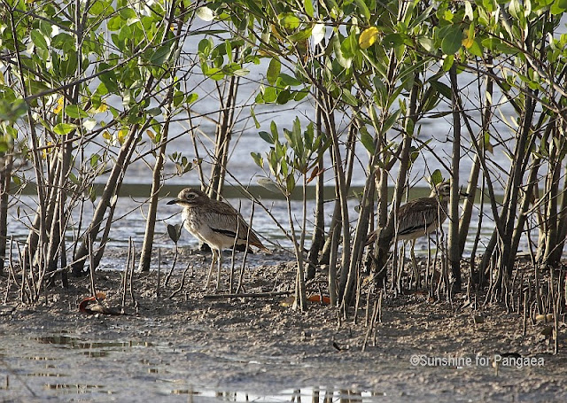 Senegal Thick-knee in Gambia