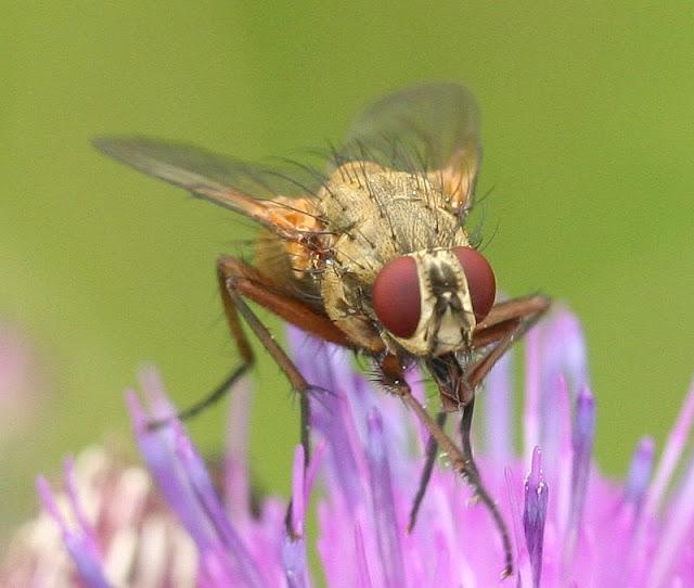Makroaufnahme Canon 60 1:1  Fliegen-Porträt