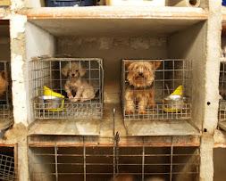Cría de perros