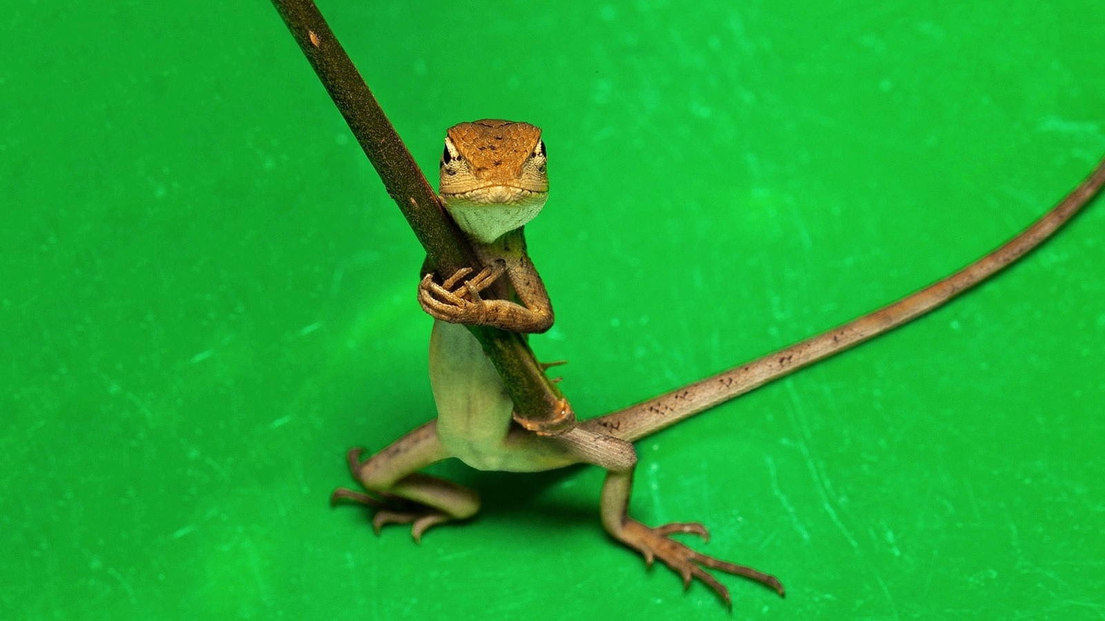 Funny animals of the week - 21 March 2014 (40 pics), funny animal pictures, tiny lizard hols a stick