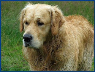 Golden retriever puppies and dogs pictures