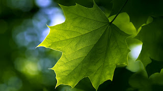 Leaf Wallpaper